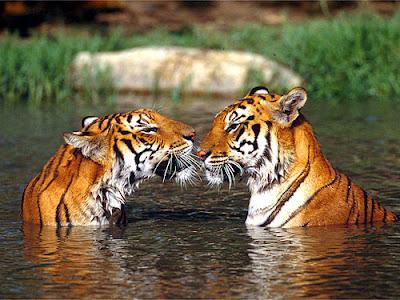 Tigre menacé de voie de disparition