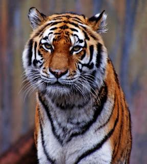 Le tigre en danger