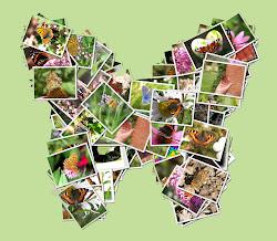 Mina fjärilsbilder