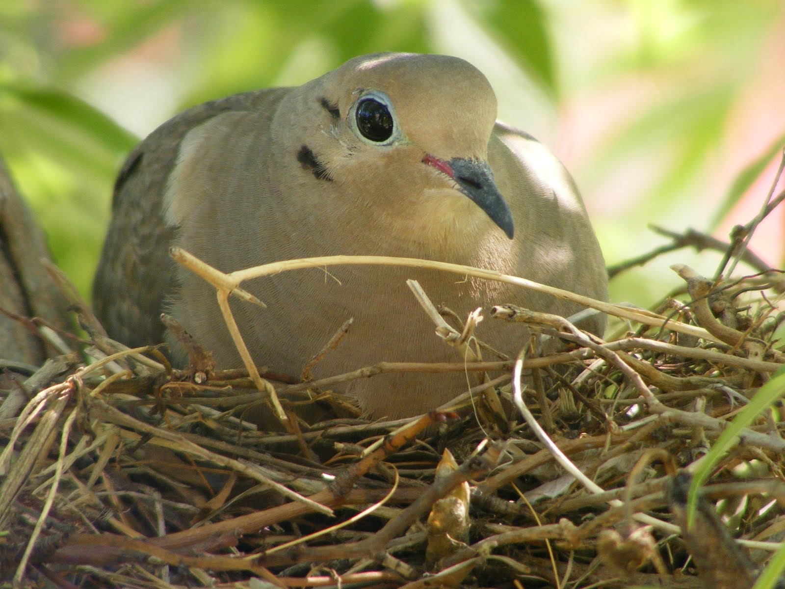 Mourning Dove Nest Creating Myself: Mourn...
