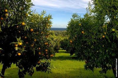 mandarine corse