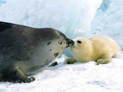 foca y osos polar