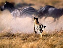 leopardo y cebras