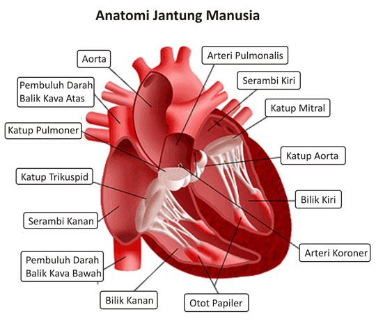 bagian tubuh dan mengembalikannya kembali ke jantung darah yang