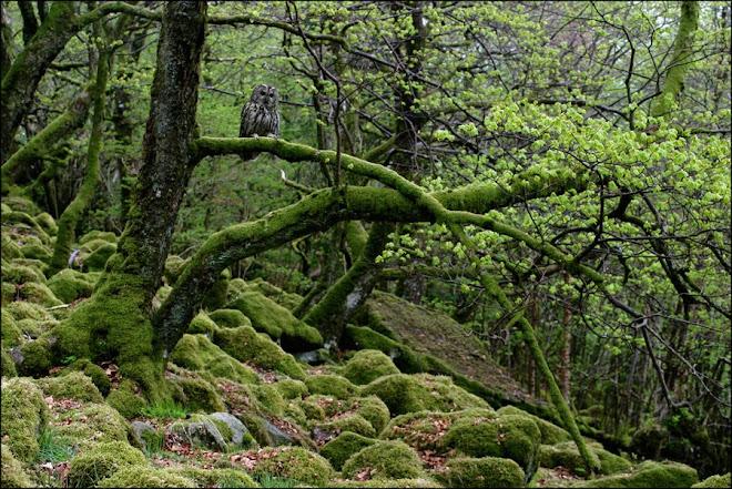 Kattugle i gammal eikeskog