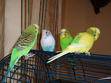 The Budgies: Oscar, Gracie, Tiger and Tiko
