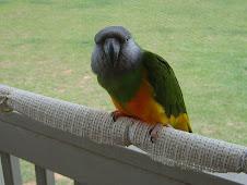 Gatto the Senegal Parrot