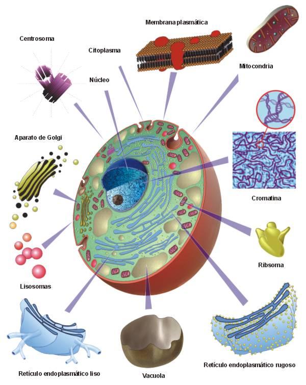 la celula animal. Célula animal