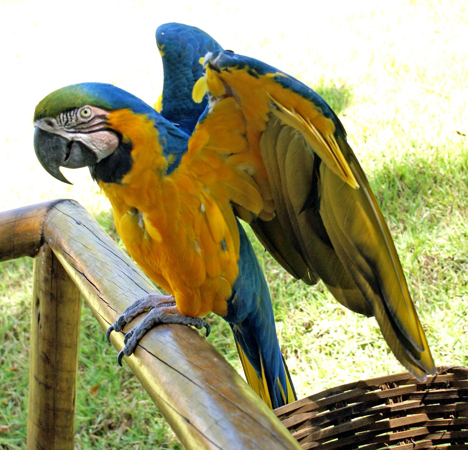 Burung Beo Cantik