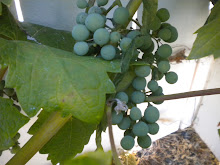 My Zinfandel Grapes