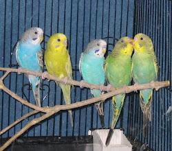 Koleksi Burung Budge (Buji)