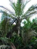 Pohon Sagu :