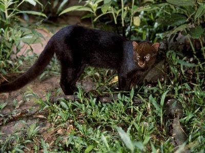 South American jaguarundi.