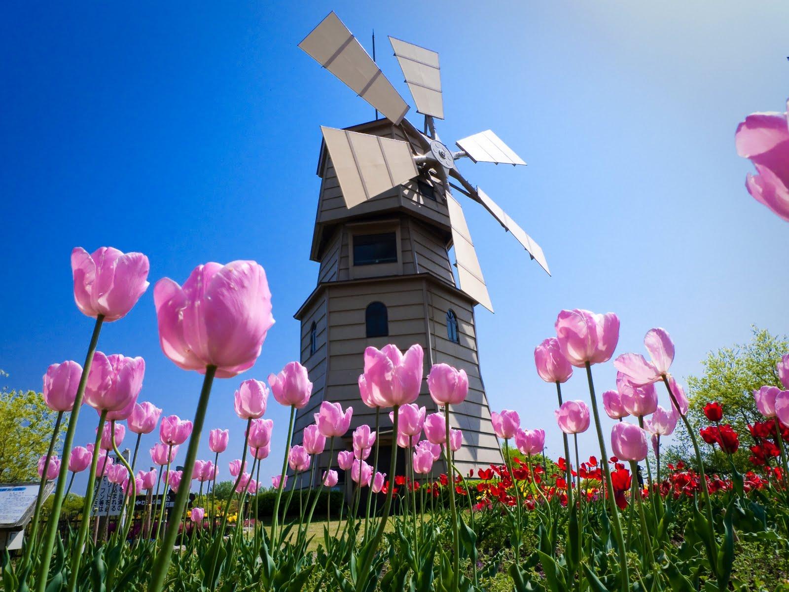 Tulipanes Florpedia com Flores Florpedia com - imagenes de flores tulipanes holandeses
