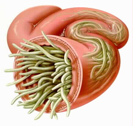 All About Cat Roundworms
