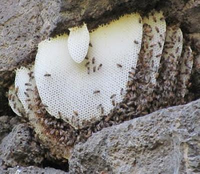 Wild honey bee hive jpg