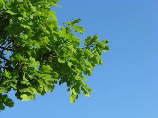 молодые листья дуба