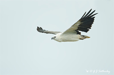 White-bellied Sea Eagle at Munmorah SRA