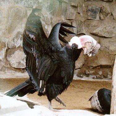 Karakura C%25C3%25B3ndor+Vultur+gryphus