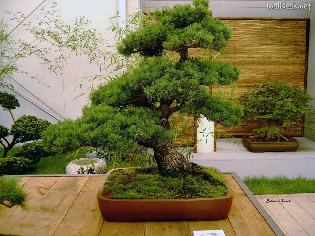 Jo o costa bonsai - Plantas para bonsai ...