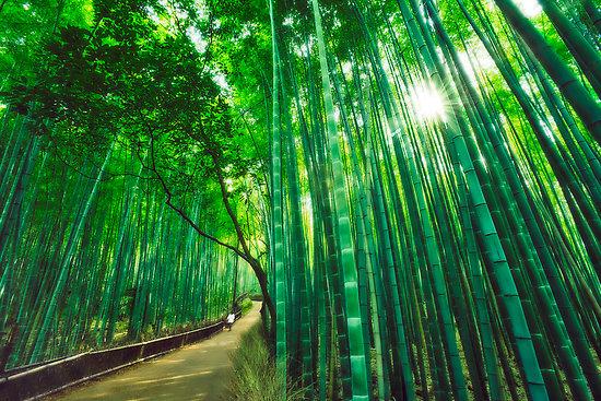 http://1.bp.blogspot.com/_jG7eClV7n50/TN8t6FdQdLI/AAAAAAAAAH0/4BWJ5UFMVXk/s1600/2299155-2-bamboo-forest-at-sagano-arashiyama-kyoto.jpg