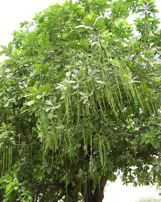 hijal tree, hijol gachh, bangladesh, Barringtonia acutangula