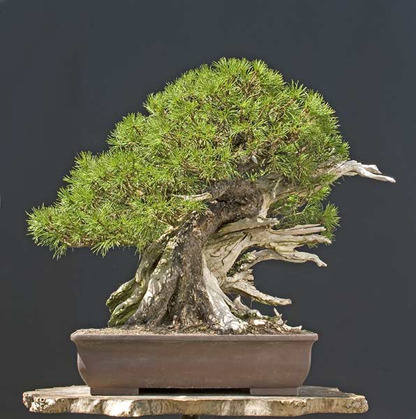walter pall bonsai adventures black pine and mugo. Black Bedroom Furniture Sets. Home Design Ideas