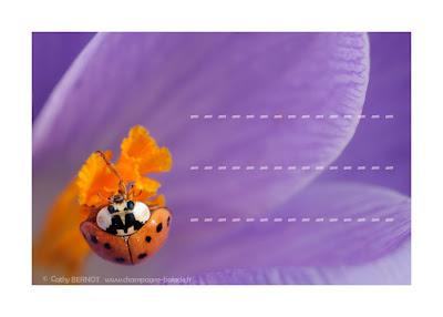 étiquette coccinelle violette fleur de crocus
