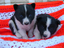 Christmas Karelian Bear Dog puppies 2009