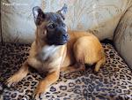 Red Thai Ridgeback Puppy