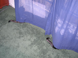 Yikies! The curtain is growing TWO tails now! Or... Oh noes! Is the curtain *eating* da kitties???