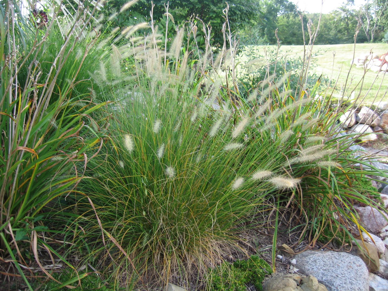 Fountain grass control in turf turfgrass for Fountain grass