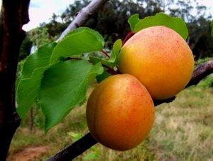 Apricocks