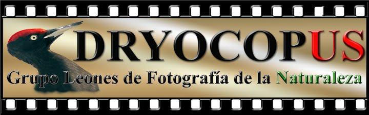 dryocopus leon
