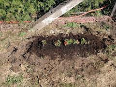 die dritte Anpflanzung