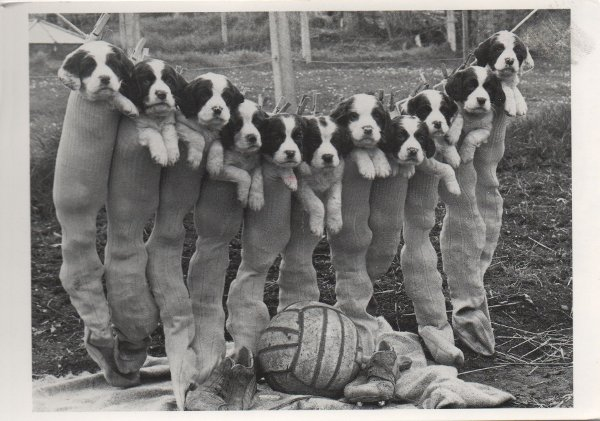 11 puppies inside football socks hanging on a line