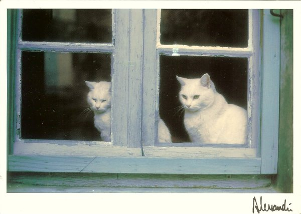 two white cats looking through window