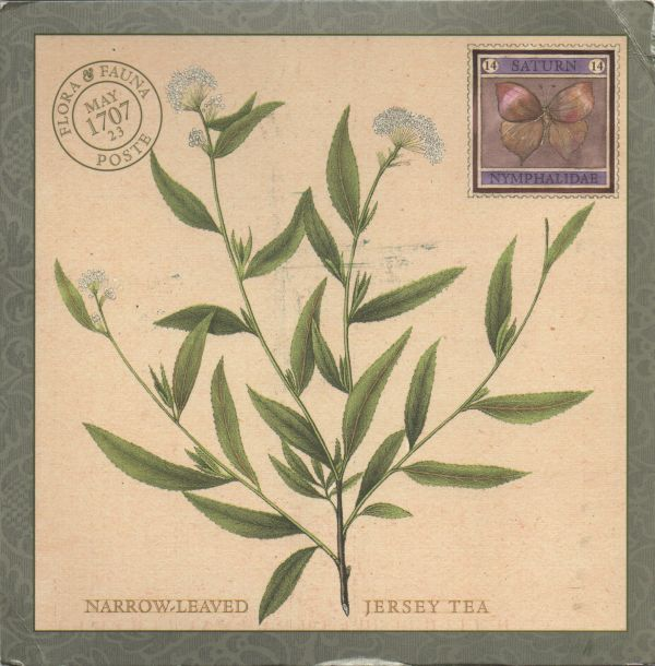 botanical illustration of Ceanothus ovalis New Jersy tea