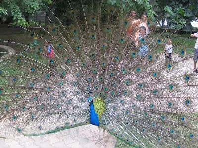 Peacock, Mysore