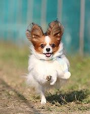 uma das raças dos cachorros mais espertos do mundo!