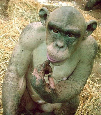 WOW! Chimps are so muscular... pics inside.. - Off-Topic ...