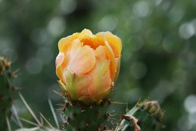 Flor en la chumbera