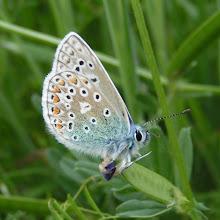 Cordelia Butterfly