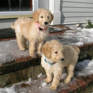Goldendoodle Puppy Cut