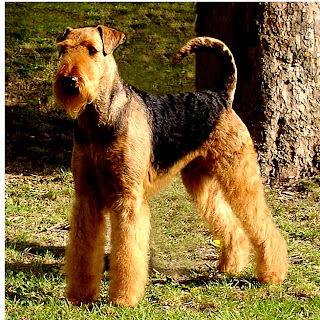 Airedale Terrier puppies wallpaper