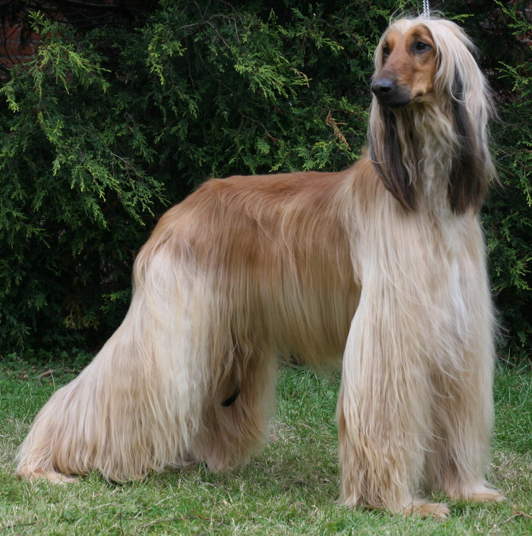 pictures of dogs \/afghan hound  FREE HD WALLPAPERS