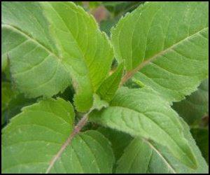 DTL Herbs LTD: Herb of The Week -- Bee Balm