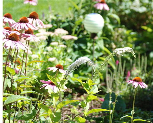 how to get rid of gooseneck loosestrife