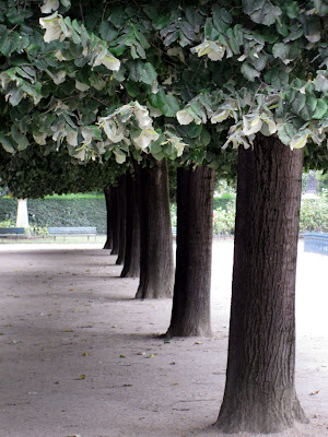 Plain trees - Île de la Cité, Paris