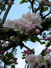 Onze herstelde bloeinde appelboom BB